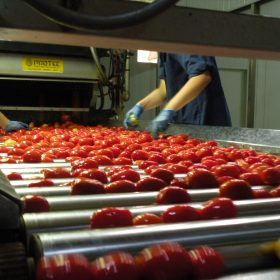 Tomatoes being sorted after washing