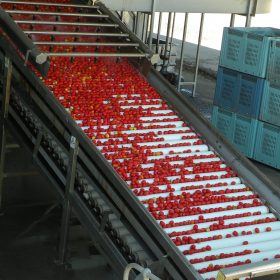 Tomatoes being washed for factory 01